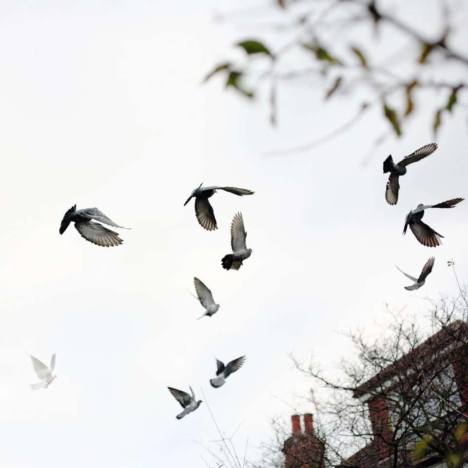 pigeon, dove, bird, flying, animal, outside, trees, branch