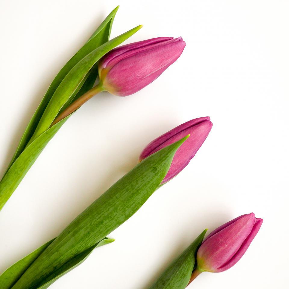 green leaf tulip flowers