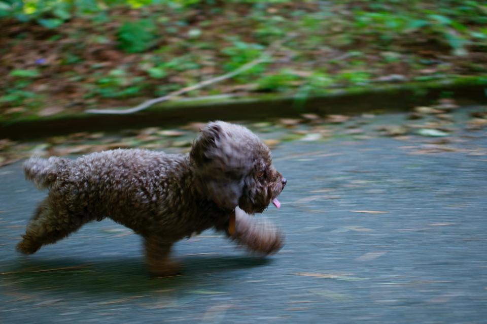 子犬、ペット、犬、動物、実行、遊び、道路、通り、屋外