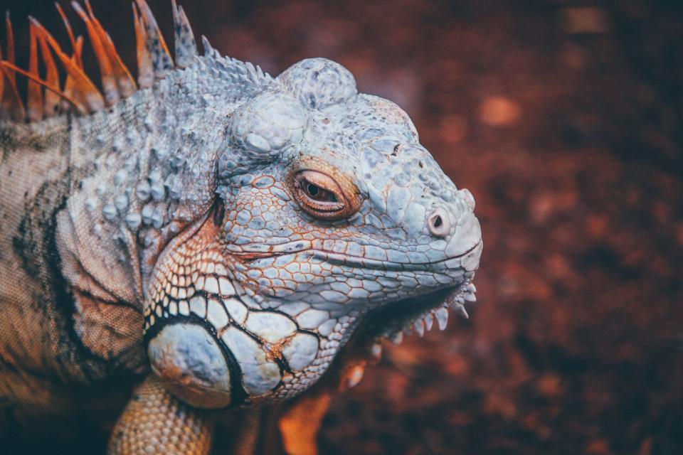wildlife, nature, reptile, animal, forest, lizard, iguana, zoo
