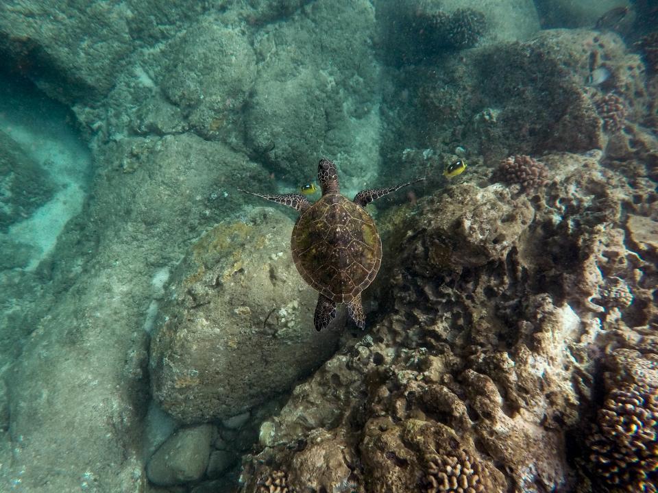 nature, sea, turtle, ocean, blue, water, rocks, fish, corals