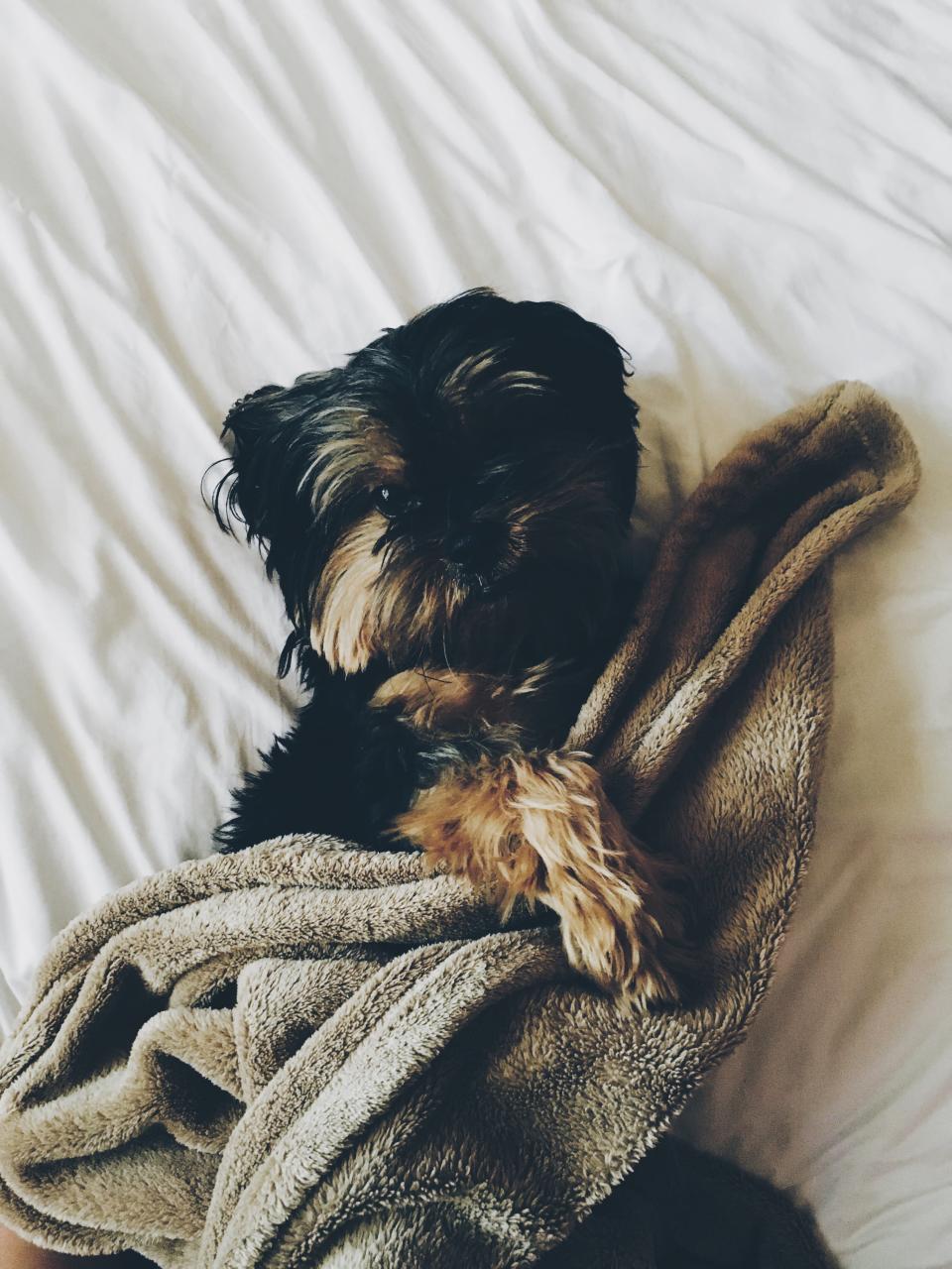 black, dog, puppy, animal, pet, bed, sheet, blanket