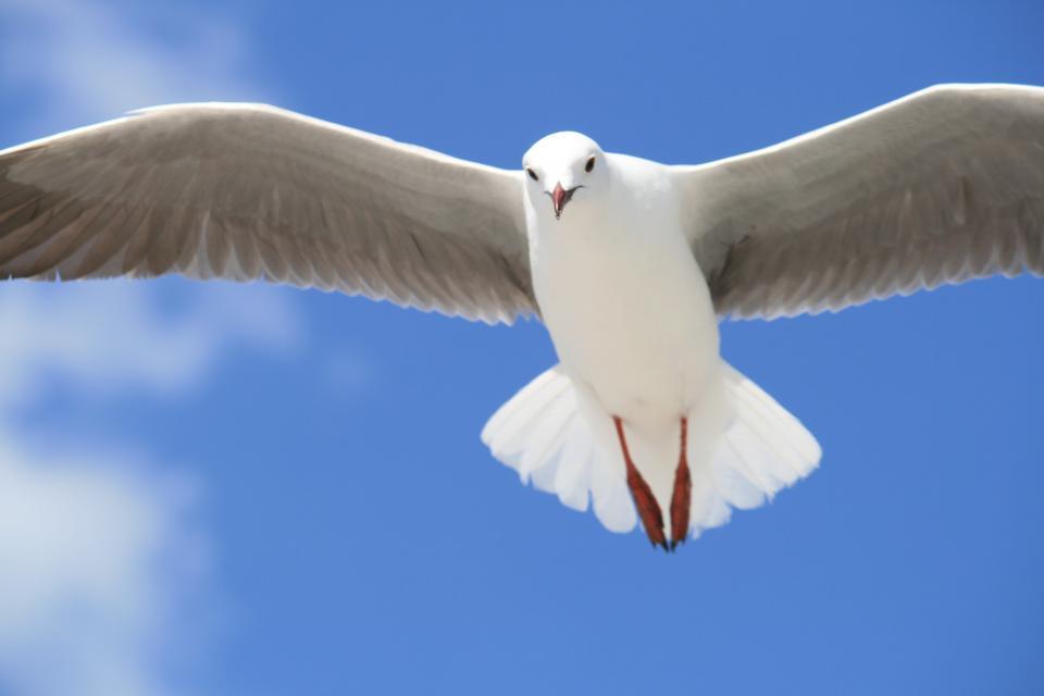 sseagull, bird, pigeon, dove, flying, , animal, blue, sky, peace