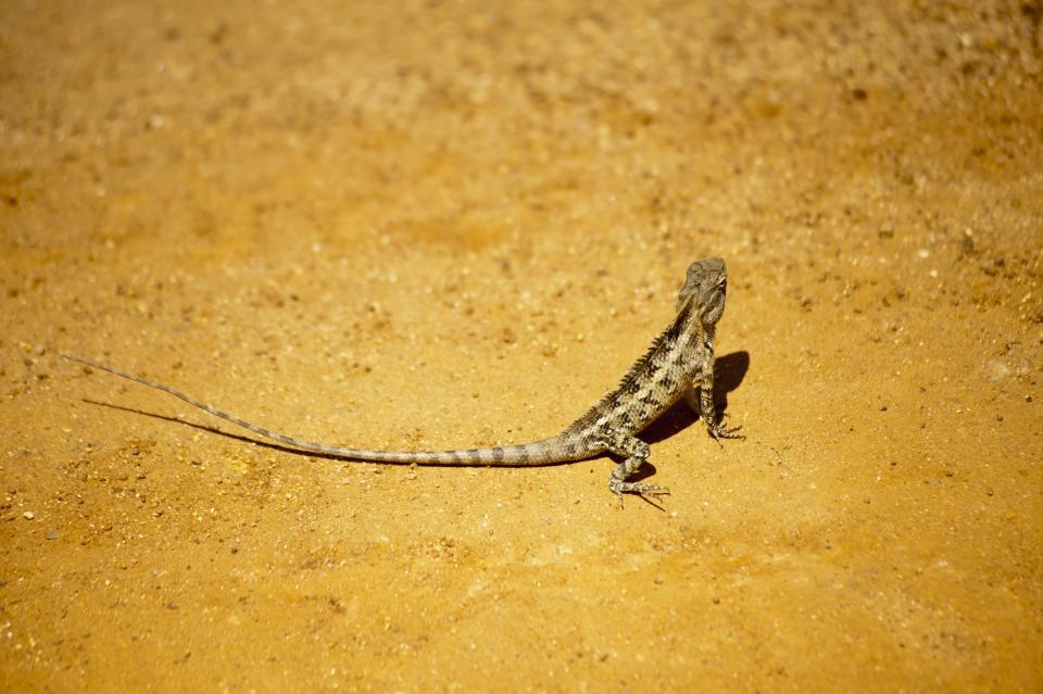 wildlife, nature, reptile, animal, lizard, iguana, ground