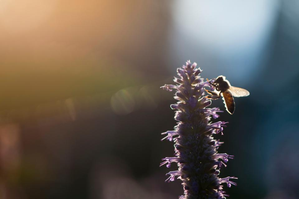 flower, bee, insect, light, blur