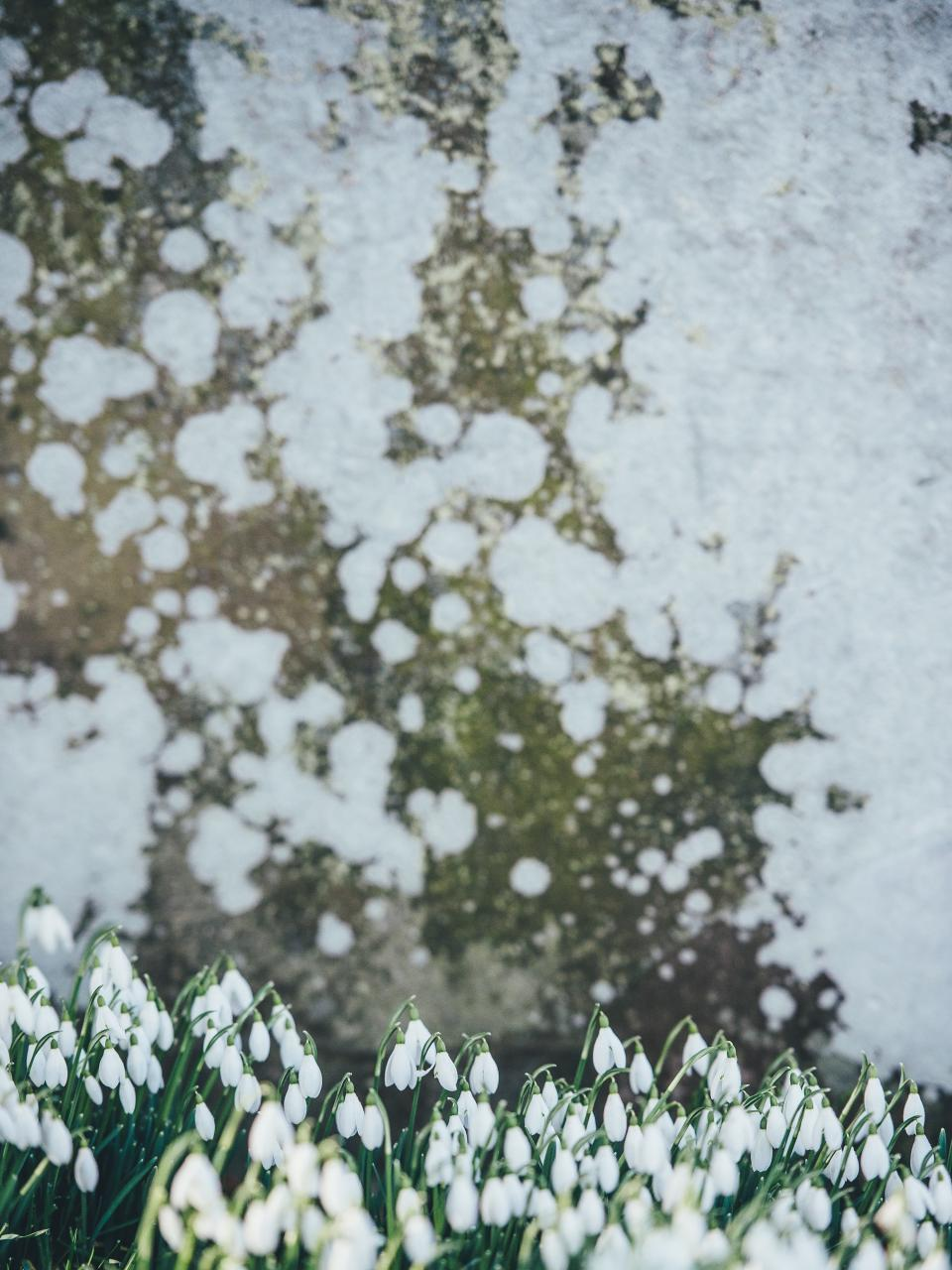 plants, flower, tulips, petals, leaves, garden, outdoor, nature, wall, stain, white, green
