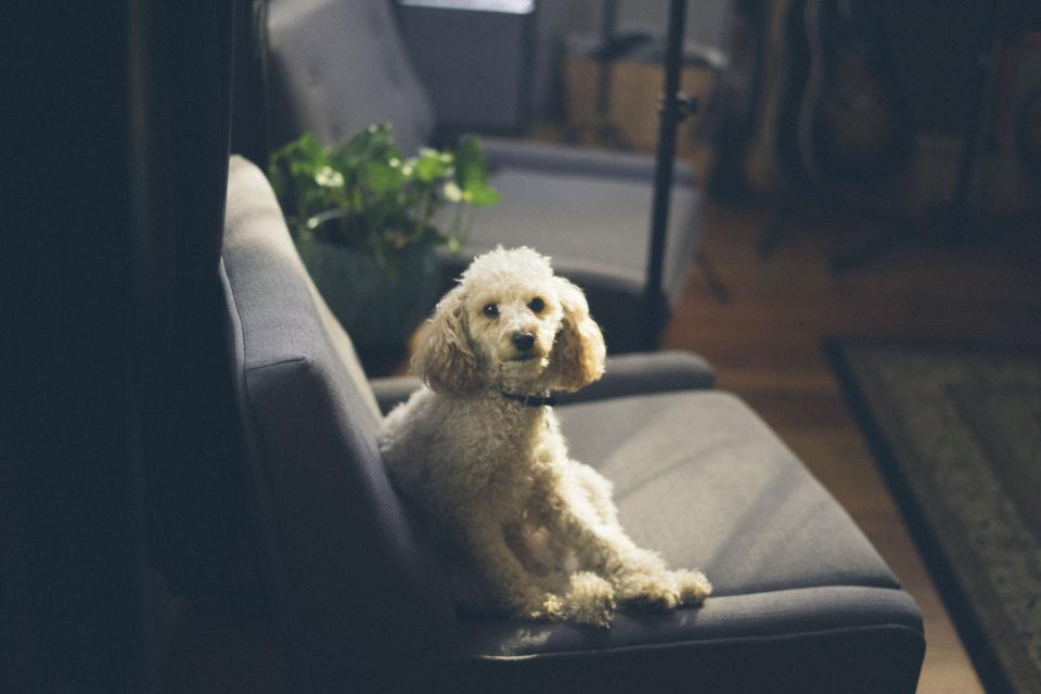 dog, puppy, animal, pet, couch, sofa, living, room, indoor, house