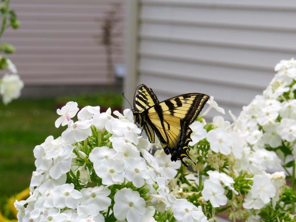 white, petal, flower, bloom, nature, plant, butterfly, insect, garden, backyard
