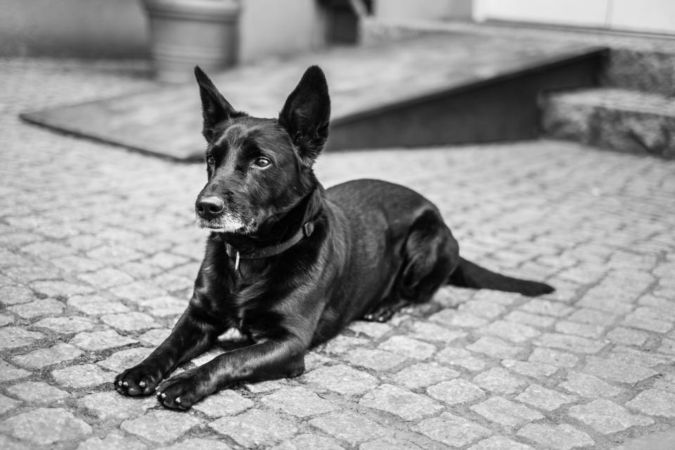 dog, pet, animals, cobblestone, black and white