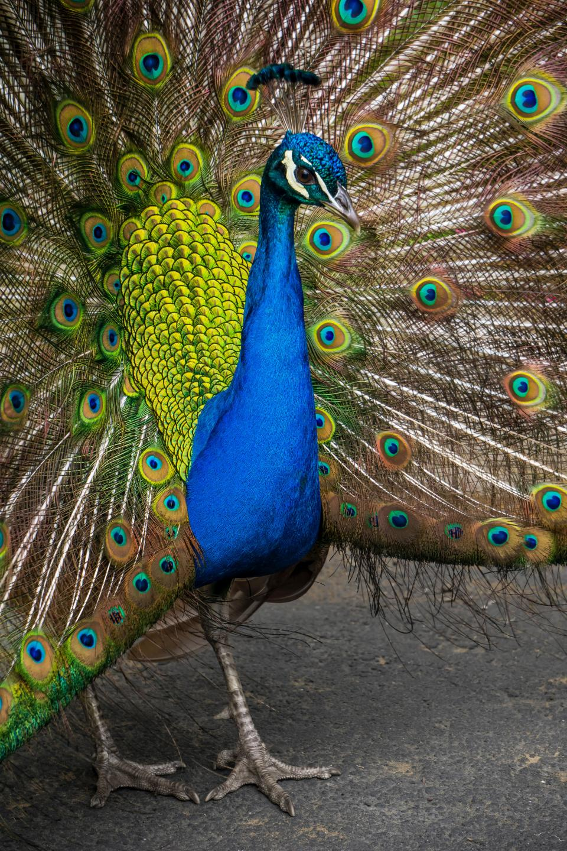 peafowl, peacock, colorful, feather, bird, animal, zoo