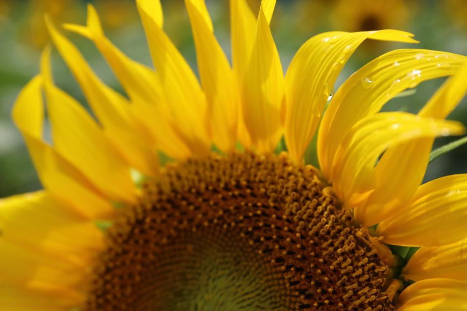 flower, yellow, petal, bloom, garden, plant, nature, autumn, fall, sunflower, landscape