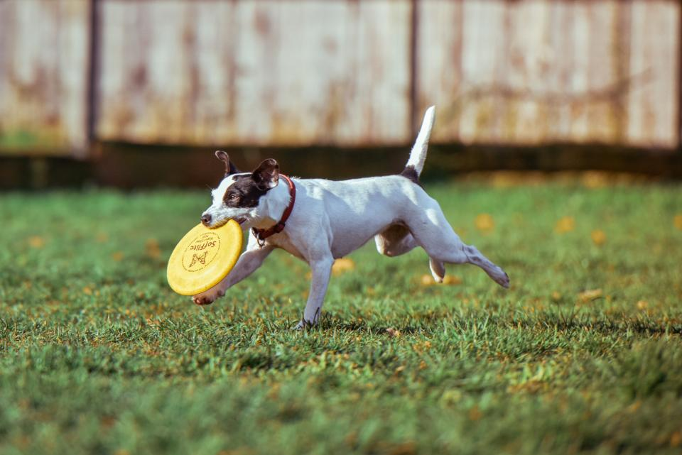 dog, pet, happy, playing, field, grass, necklace, frisbee, running