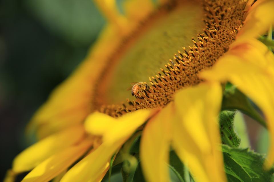 sunflower, yellow, petal, field, farm, garden, nature, plant, blur, bee, insect