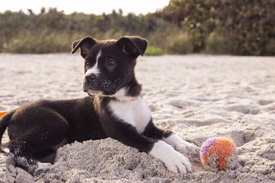 dog, pet, ball, beach, sand