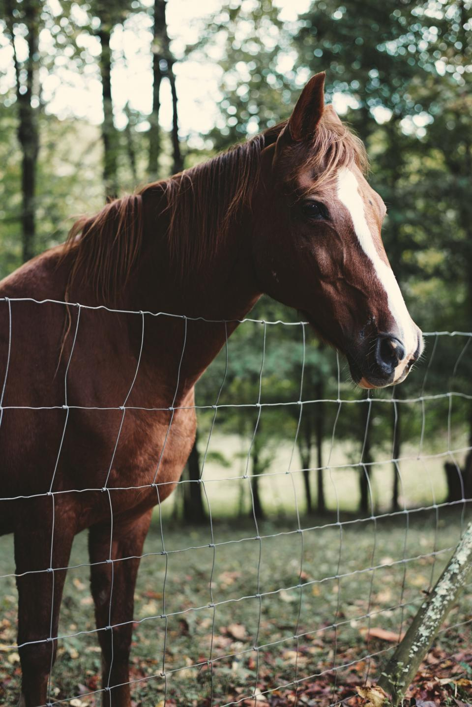 horse, animal, close up, brown, trees, grass, leaves, autumn, fall, fence