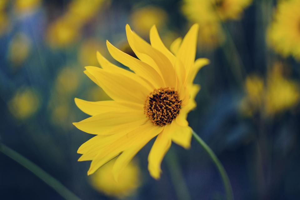 flower, yellow, petal, bloom, garden, plant, nature, autumn, fall, sunflower, green, leaves