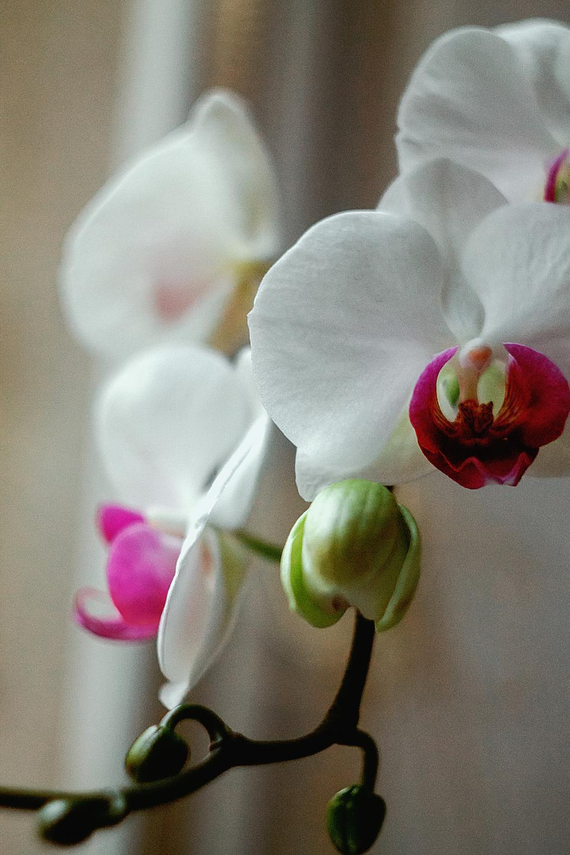 nature, plants, stem, flowers, buds, white, pink, petals