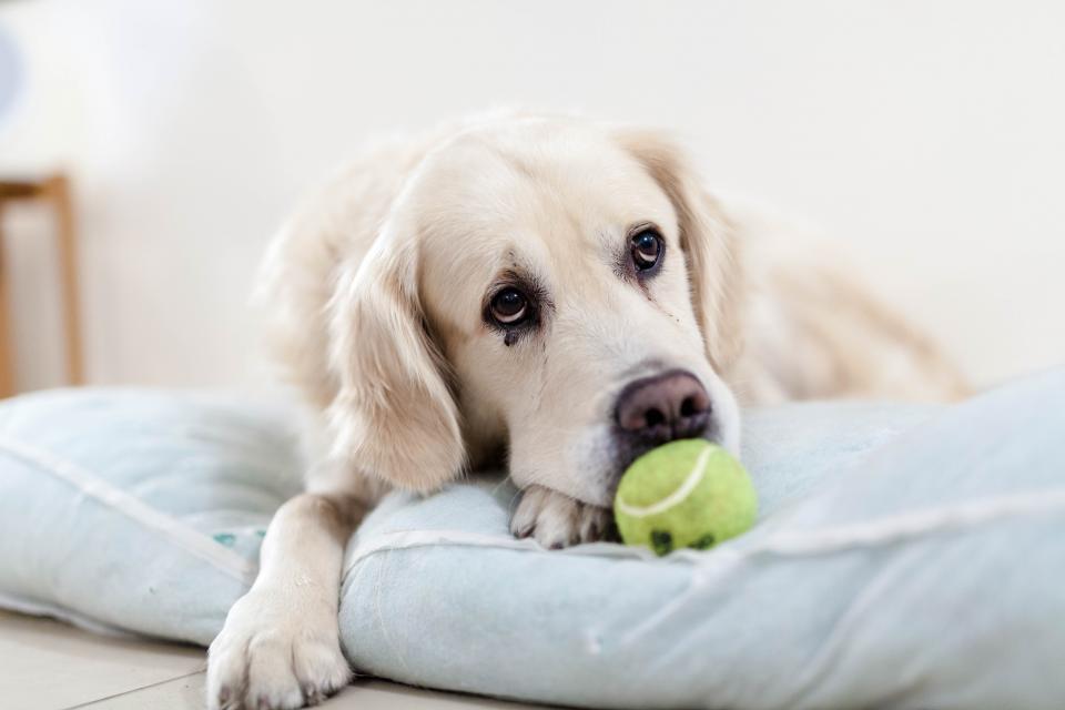 dog, golden retriever, pet, animals, sad, tennis ball, toy