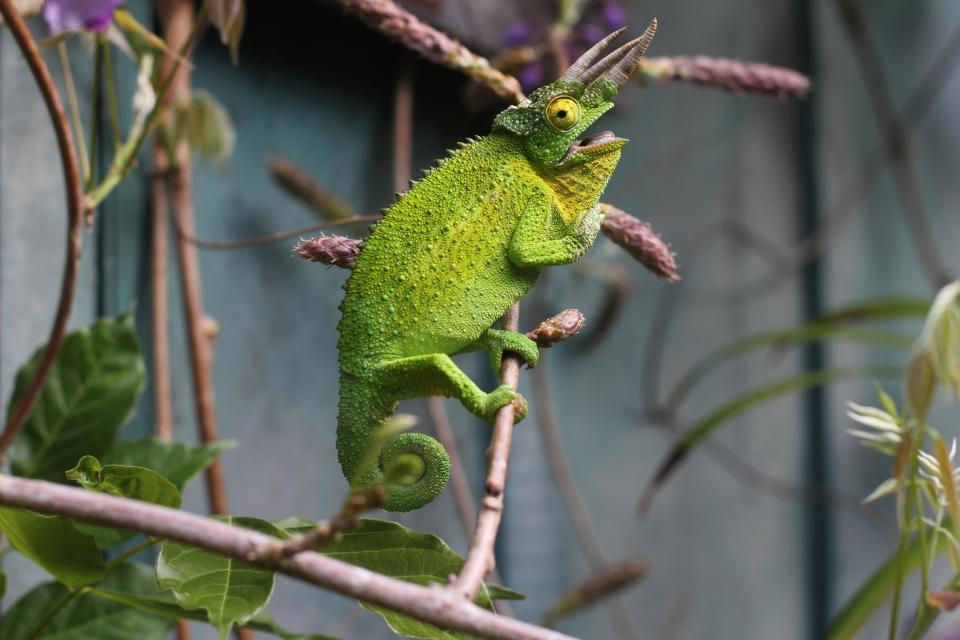 lizard, reptile, green, chameleon, tree, branch, animal