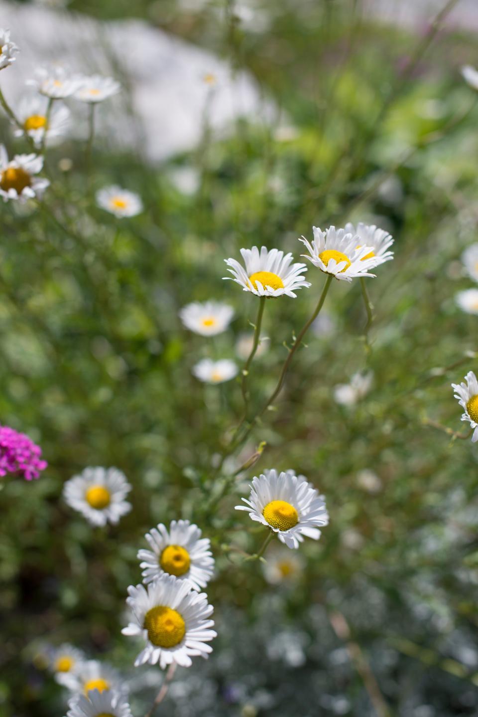 flower, white, petal, garden, plant, nature, blur