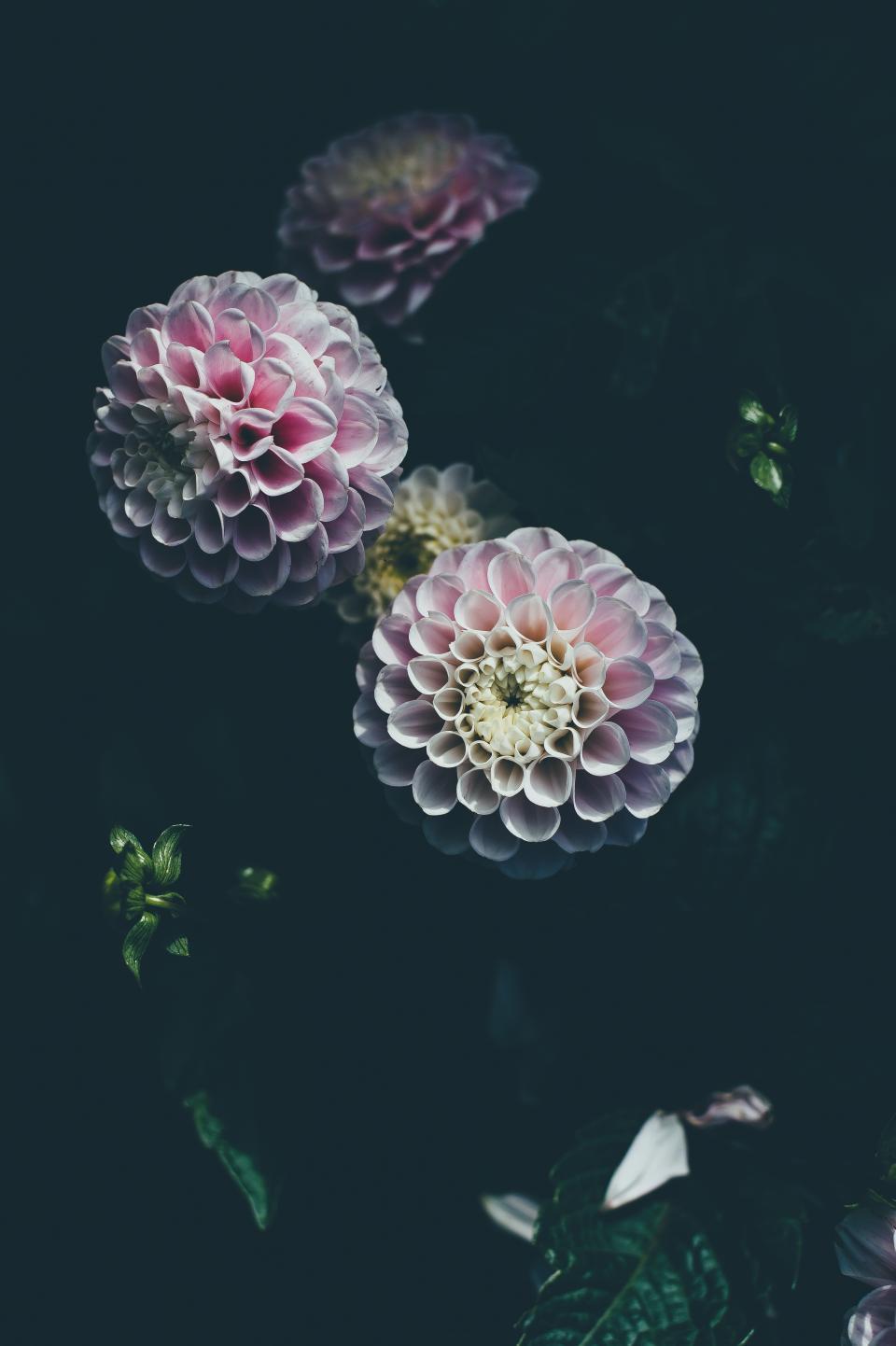 dark, dahlia, flower, petals, plant, nature