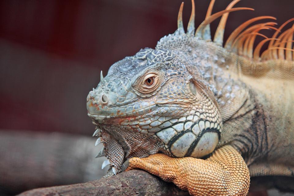 iguana, pet, animal, wildlife, reptile