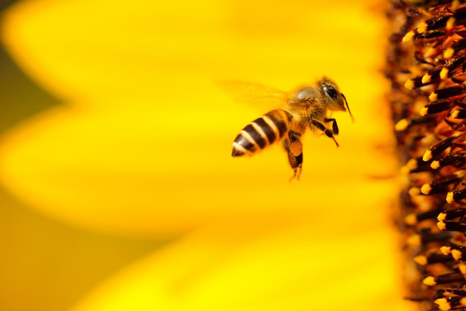 bee, yellow, wings, flying, sunflower, flower, bokeh, blur, animal, insect, nature, petal, outdoor, closeup