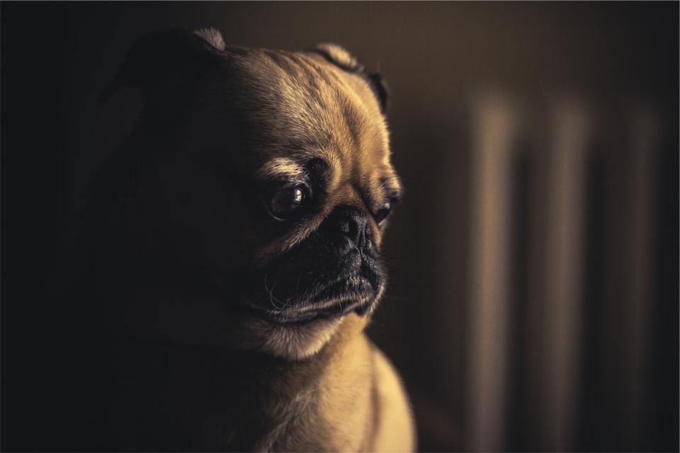 pug, dog, pet, animal, cute, sad