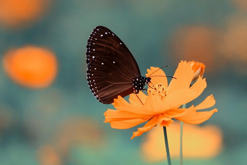 butterfly, insect, flower, orange, petals, garden, nature, blur