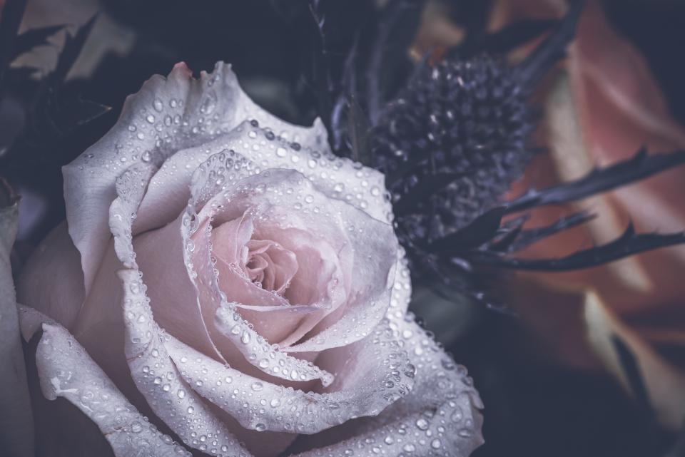 flower, white, petal, bloom, garden, plant, nature, autumn, fall, water, rain