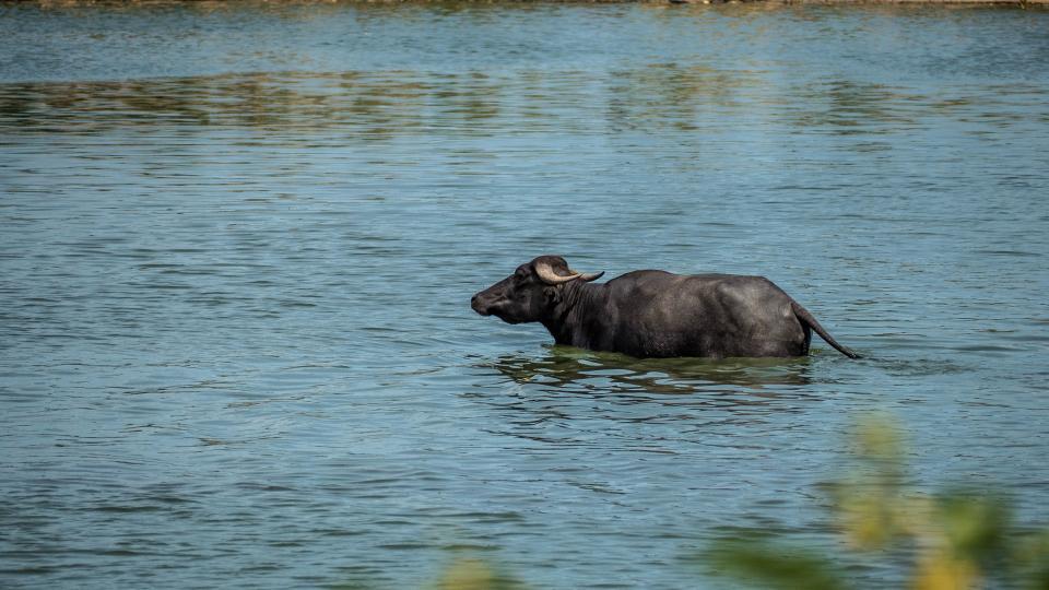 lake, water, nature, carabao, animal, swimming, wildlife