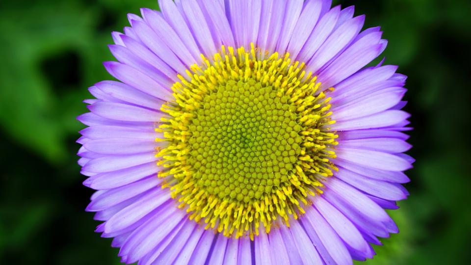 nature, purple, lavender, flower, petals, bloom, sunflower
