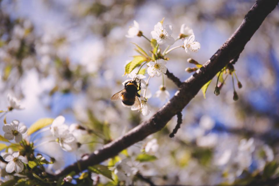 flowers, nature, blossoms, branches, white, petals, bokeh, outdoors, garden, insects, bee