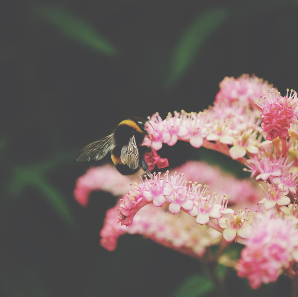 flower, pink, petal, bloom, garden, plant, nature, autumn, fall, bee, insect