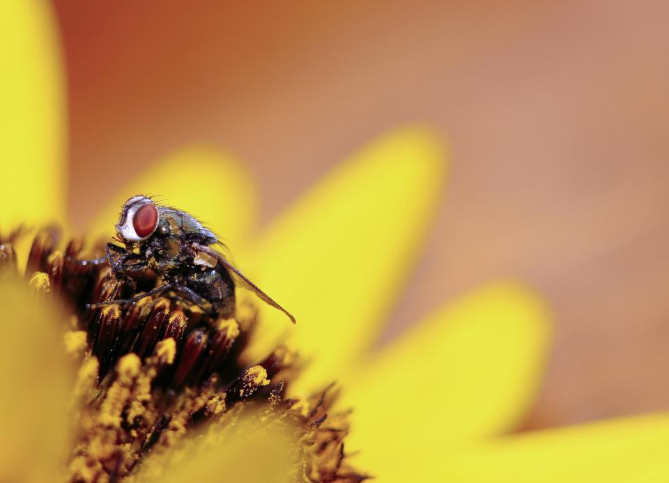 flower, yellow, petal, bloom, garden, plant, nature, autumn, fall, sunflower, bee, insect, pollen, nectar
