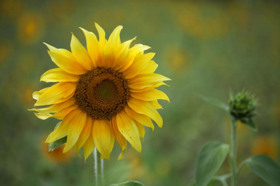 yellow sunflower garden nature