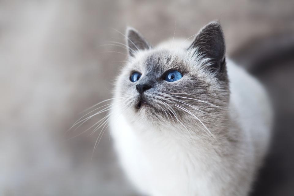 cat animal kitten cute eyes whiskers blue