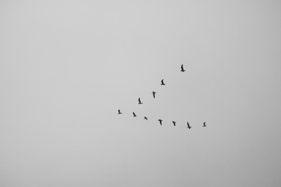 bird, animal, flying, sky, black and white