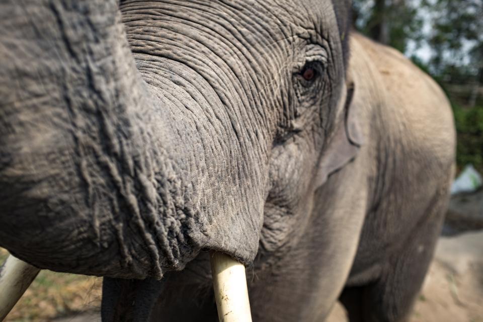 elephant, wildlife, animal