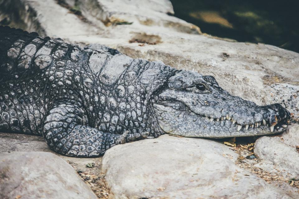 alligator, predator, reptile, rough, stone, rock, teeth, sharp
