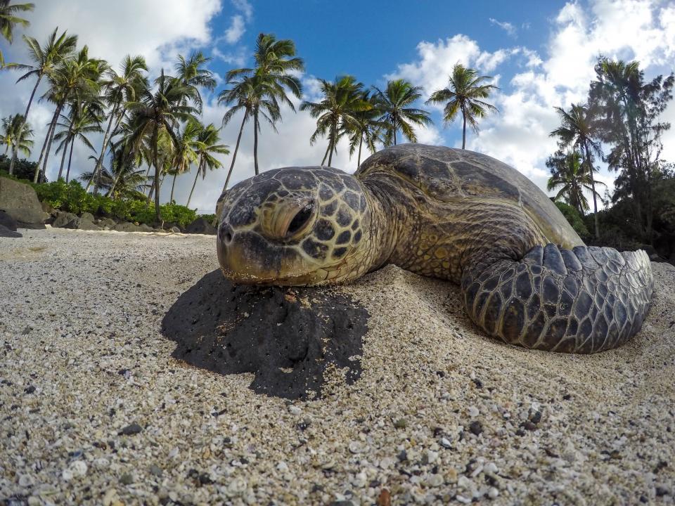 sea turtle reptile aquatic animal beach sand coast shore nature tree plant blue sky cloud summer sunny day