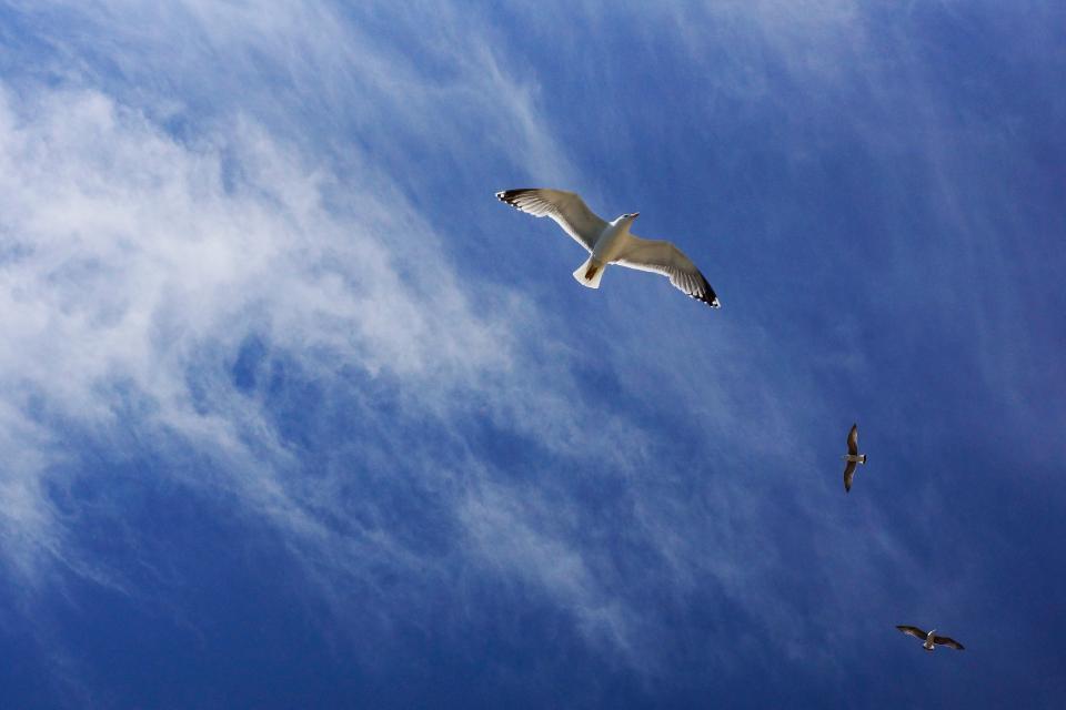 blue, sky, cloud, bird, flying, animal