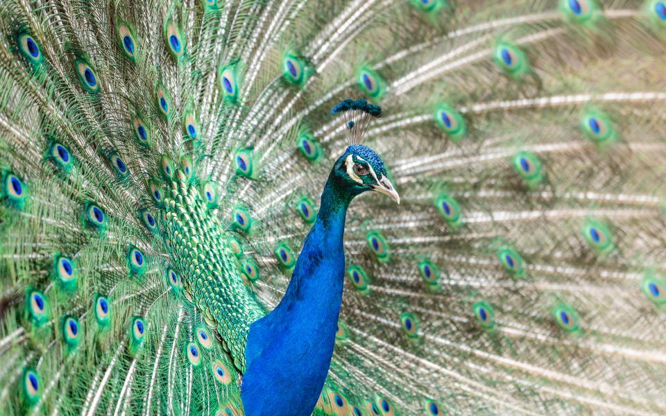 bird, peacock, feathers, animal, nature, blue, green, zoo, colorful