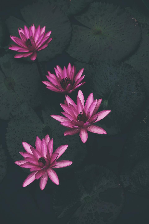 waterlily, plants, pink, petal, flower, nature, water, wet, leaves