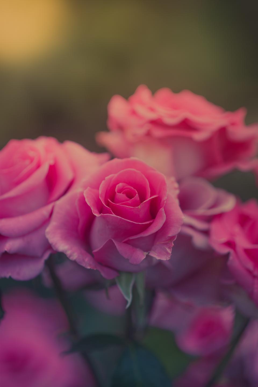 pink, flower, rose, petal, nature, plant, blur