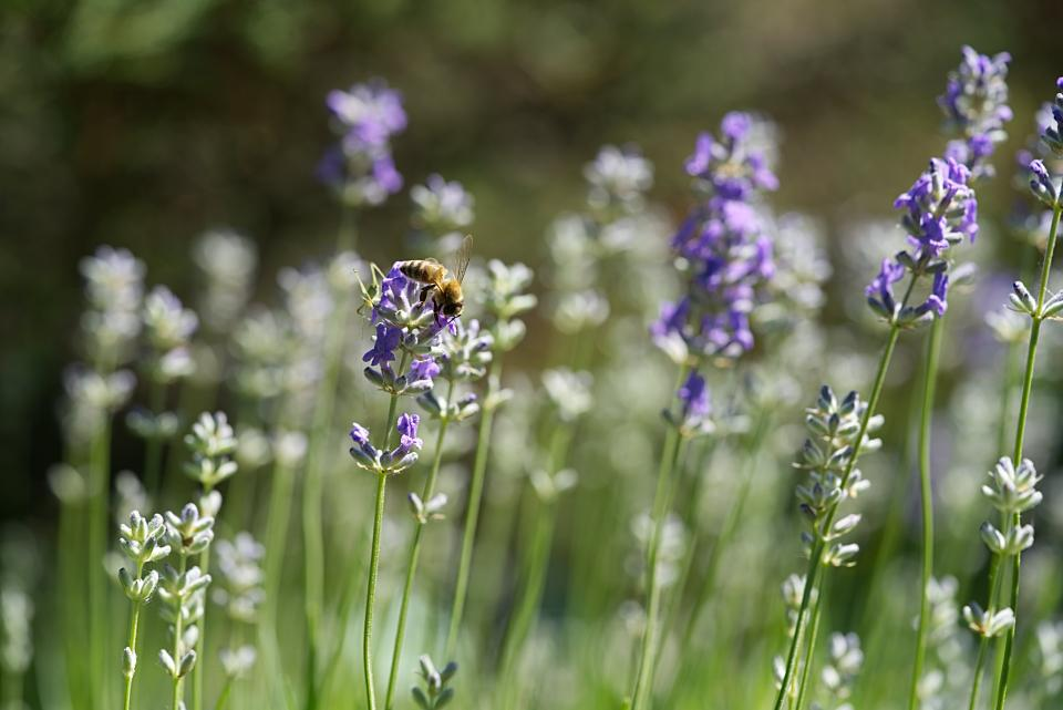lavender, flower, garden, field, farm, outdoor, nature, bee, insect, animal