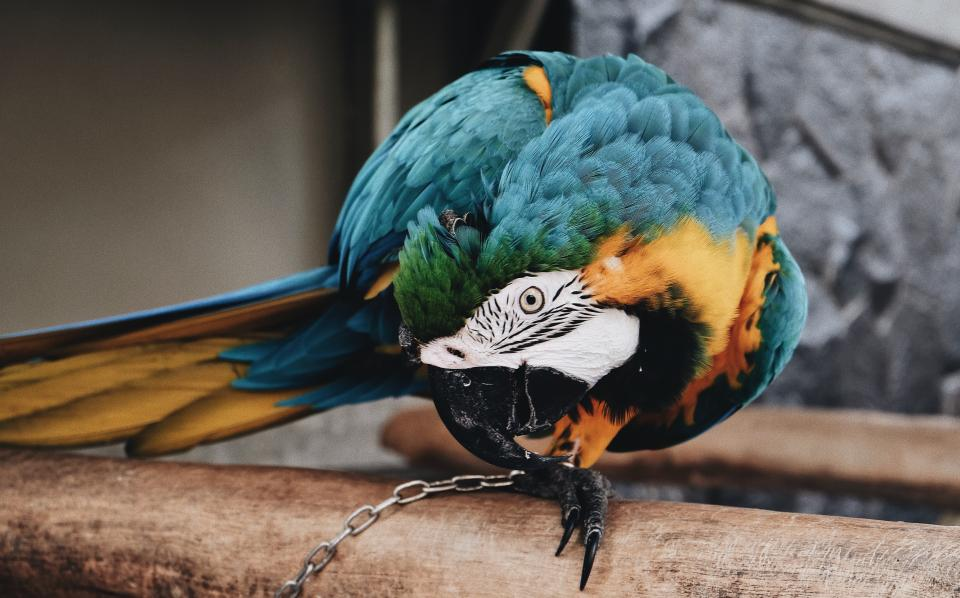 bird, animal, pet, nature, chain, wooden, cage, colorful, feather