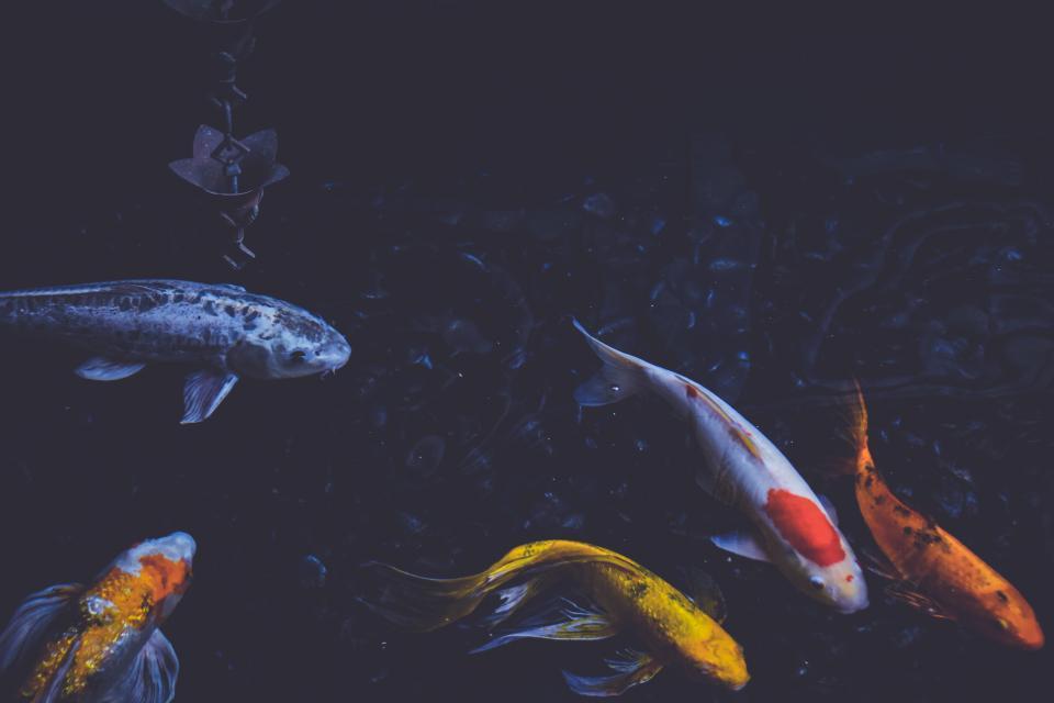 fish, pond, swim, koi, fishery, pisciculture