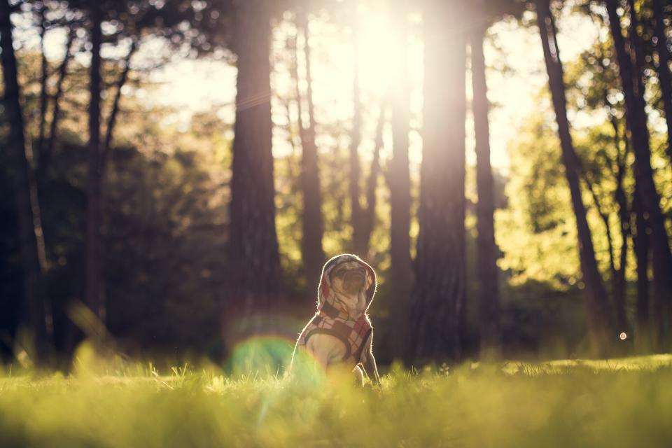 pug dog animals hoodie sweater clothes forest woods trees nature grass sun rays sunshine model cute