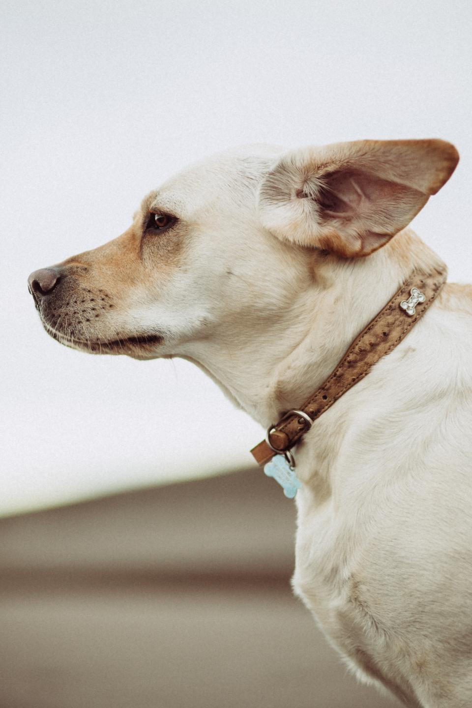 white, dog, animal, friend, pet